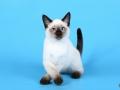Kitten Royal Symphony