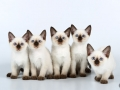 Kittens Royal Symphony